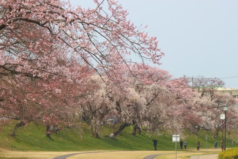 赏樱 散步